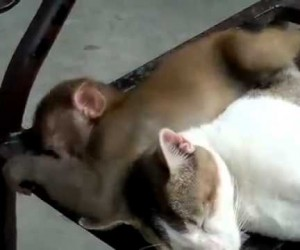 相手をして欲しすぎる猿と全く相手にしない猫の動画