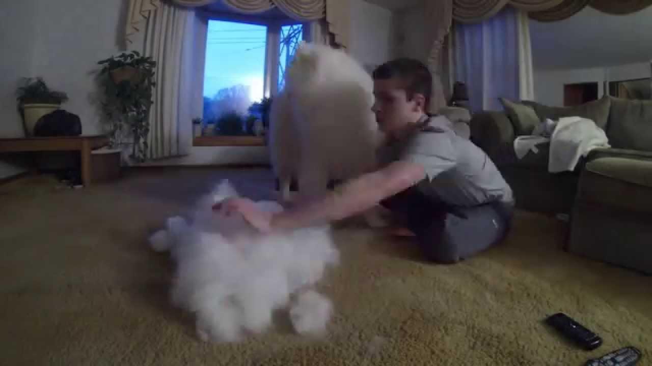 大人しくブラッシングされるサモエド犬がかわいすぎる動画
