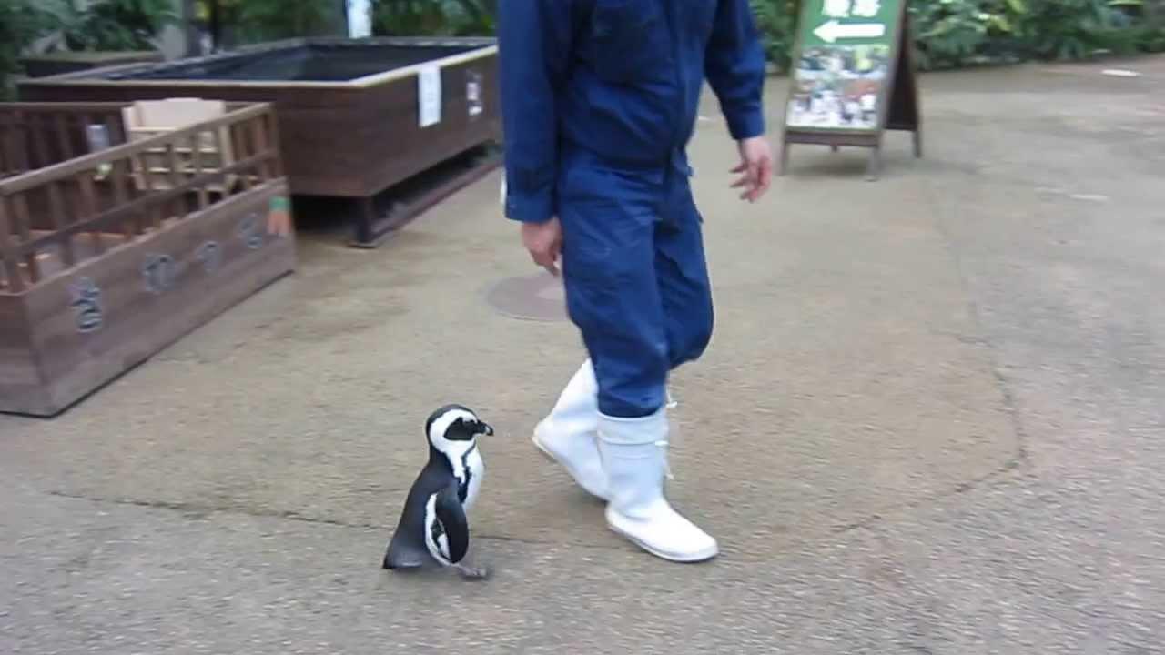 飼育員に恋するペンギンが可愛すぎる動画