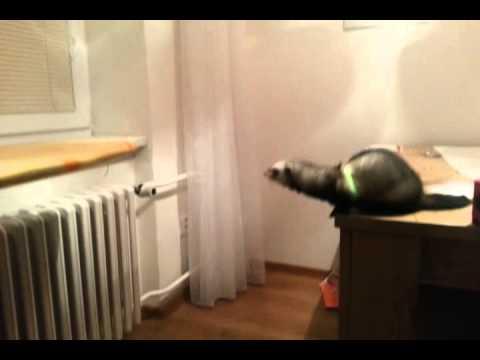 ジャンプを失敗するフェレットが可愛すぎる動画