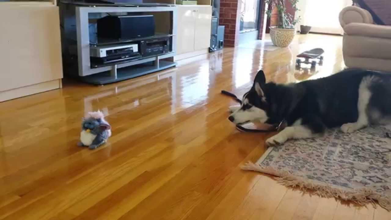 ファービー人形に恐れをなすハスキー犬の動画