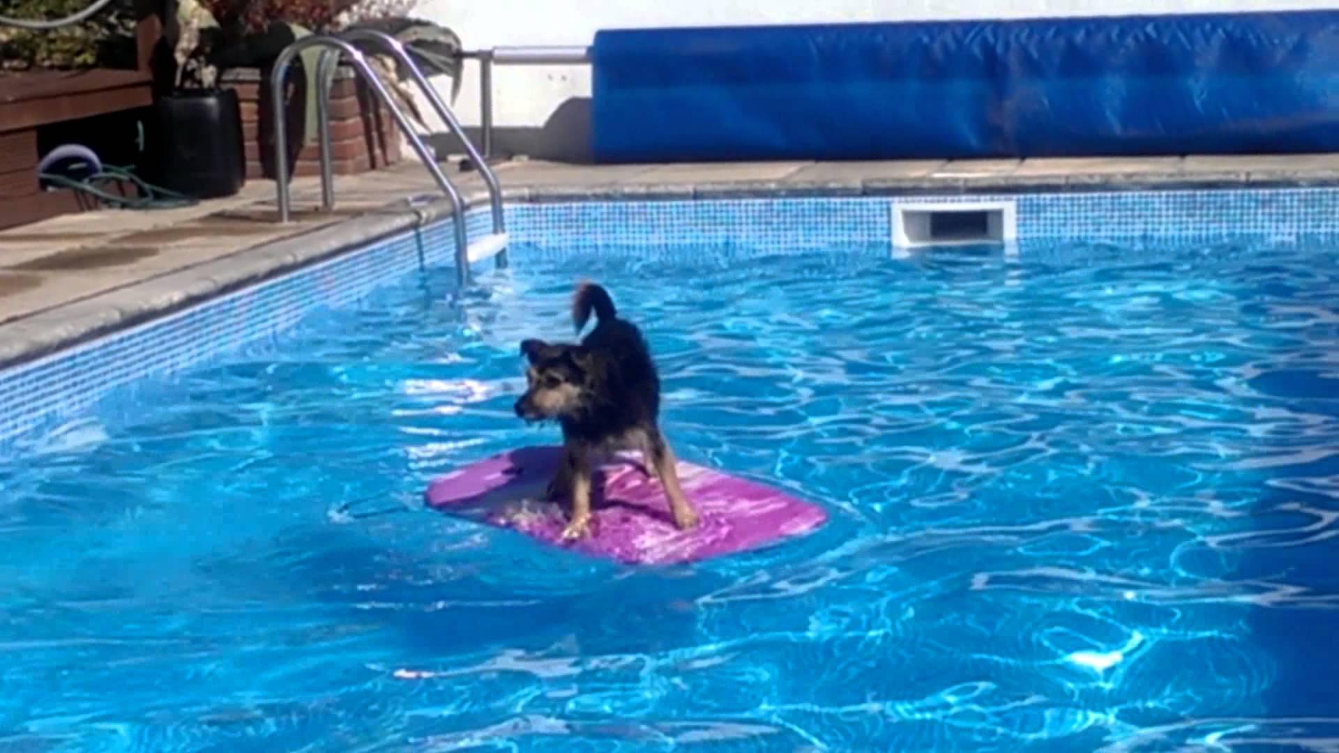 プールの端から端までボードで移動するサーフィン犬