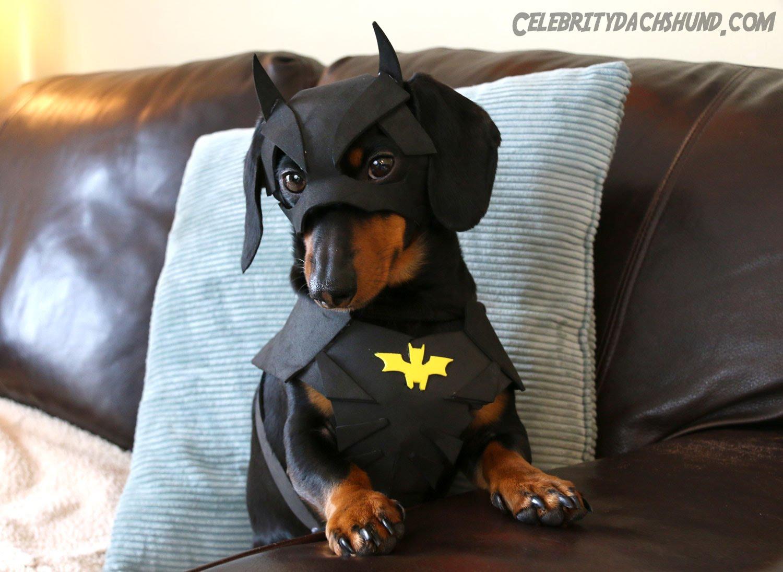 バットマンの衣装を着用した犬がかっこ可愛い