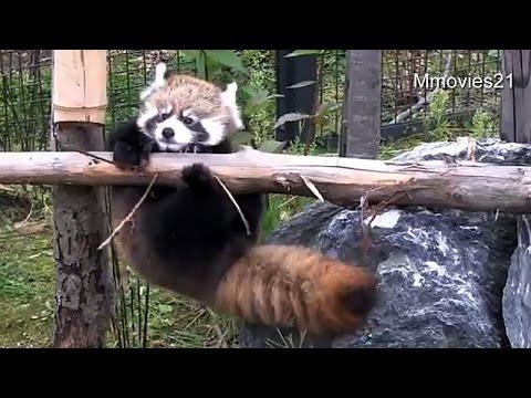 赤ちゃんレッサーパンダの初丸太渡りがラブリーすぎ!