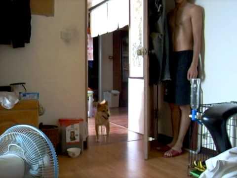 隠れている主人を見つけたときの柴犬の反応が面白い