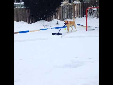 除雪カーならぬ除雪犬? シャベルで雪かきする犬