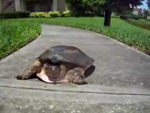 亀は鈍足じゃない! 爆速で走る亀に驚き
