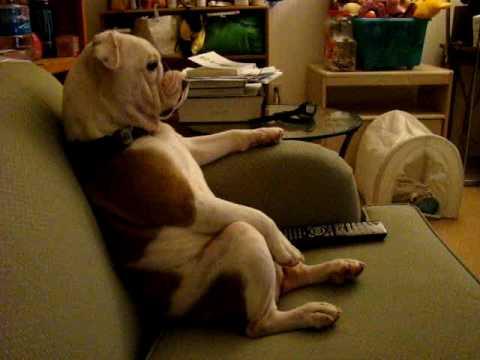 これは完全におっさん! ソファに腰掛けてテレビを見るブルドッグ