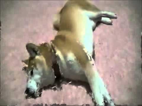 現金すぎる……おやつの有無でやる気が大幅に変わる柴犬