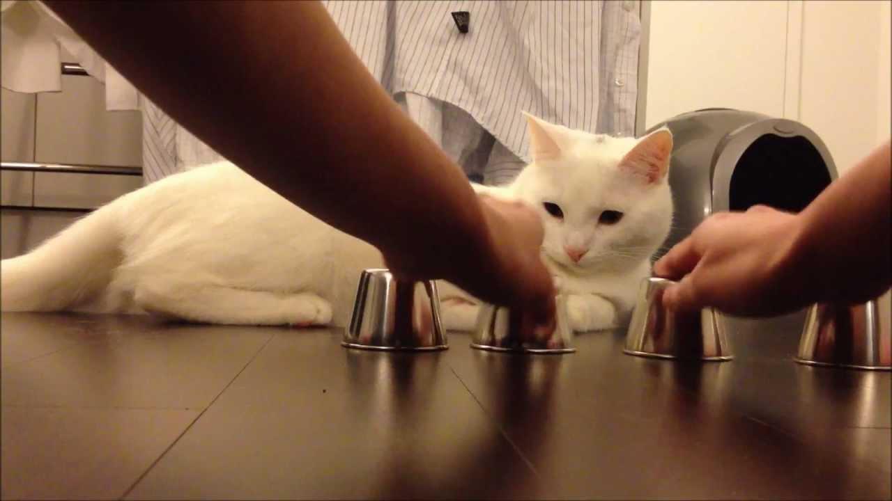 カップに玉を入れてシャッフルしてもちゃんと当ててくる猫