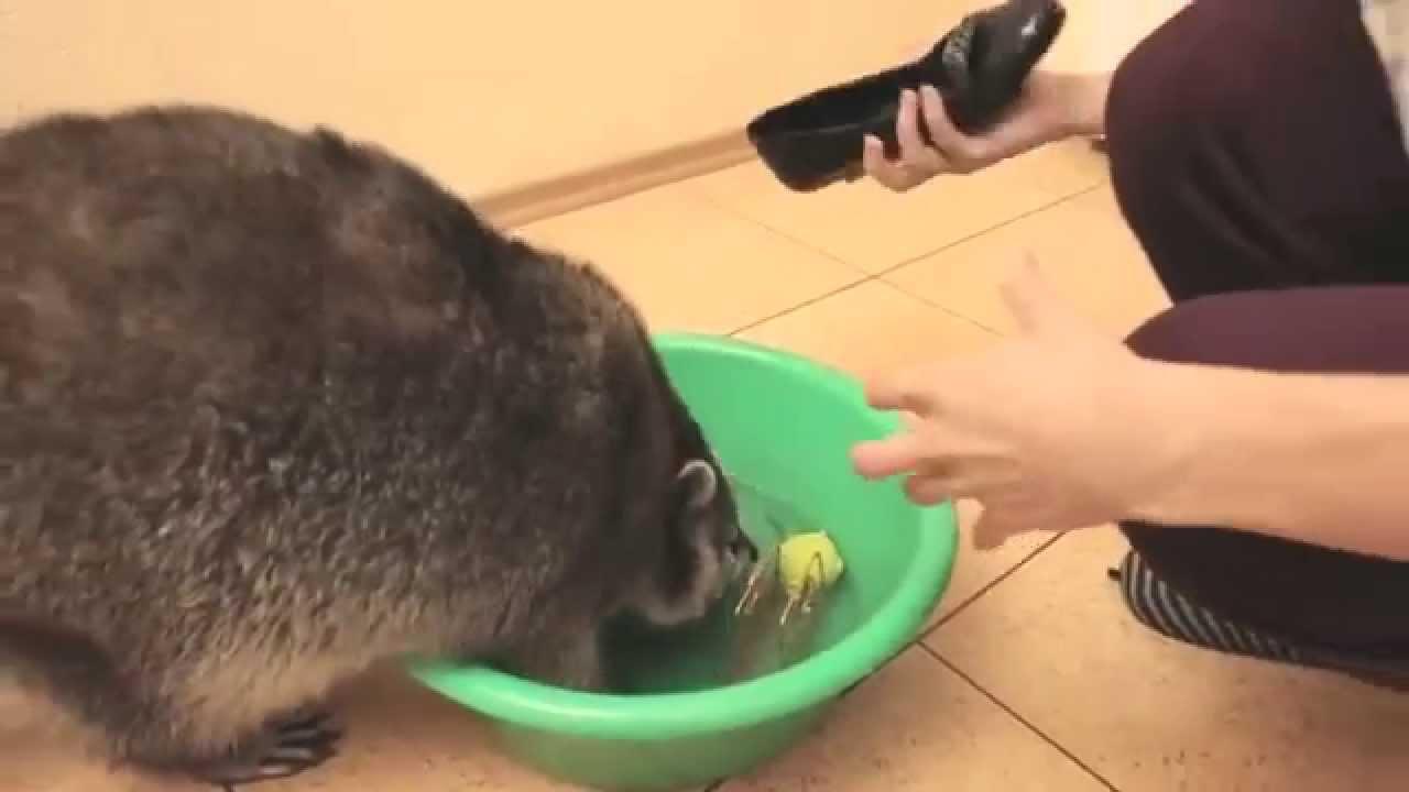 親切でやってるかもしれない……ダメなものを洗うアライグマ