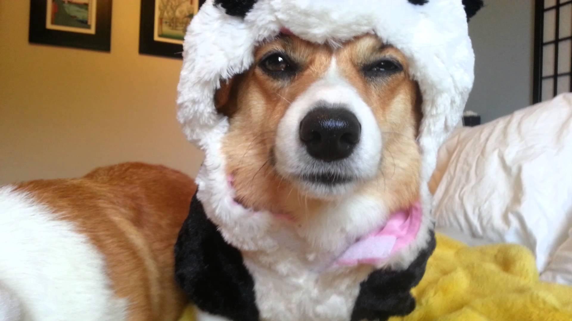 「やめーや……」着ぐるみを着させられた犬の超不快そうな表情