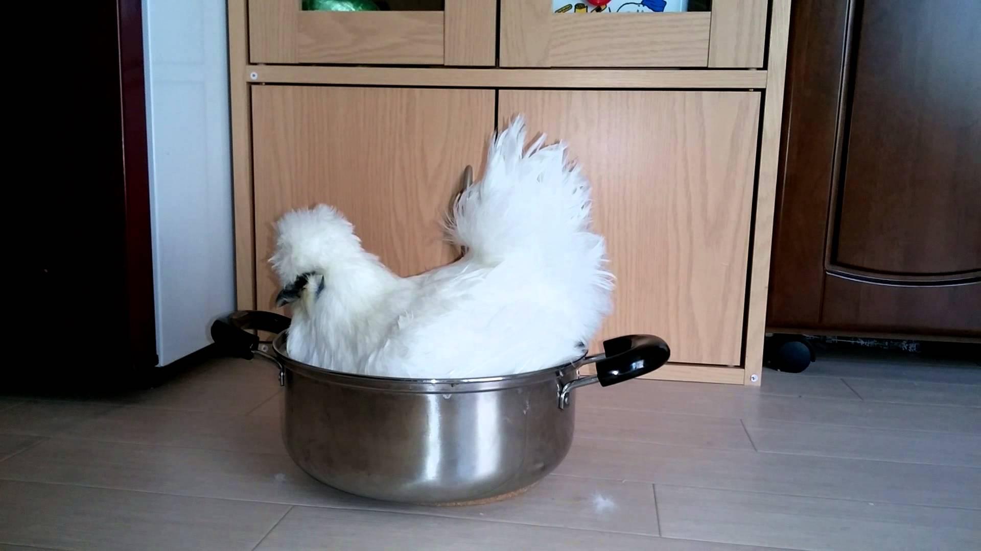 鍋の中で寛ぐ烏骨鶏がモフモフで可愛い