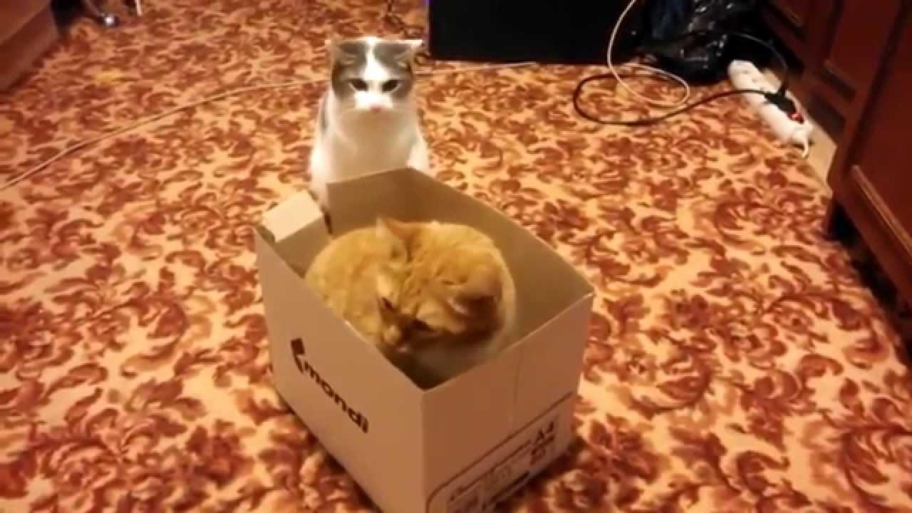 仁義なき争い! ダンボール箱を奪い合う猫の戦い!