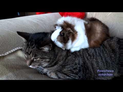 猫を毛づくろいするモッフモフのモルモットが可愛い