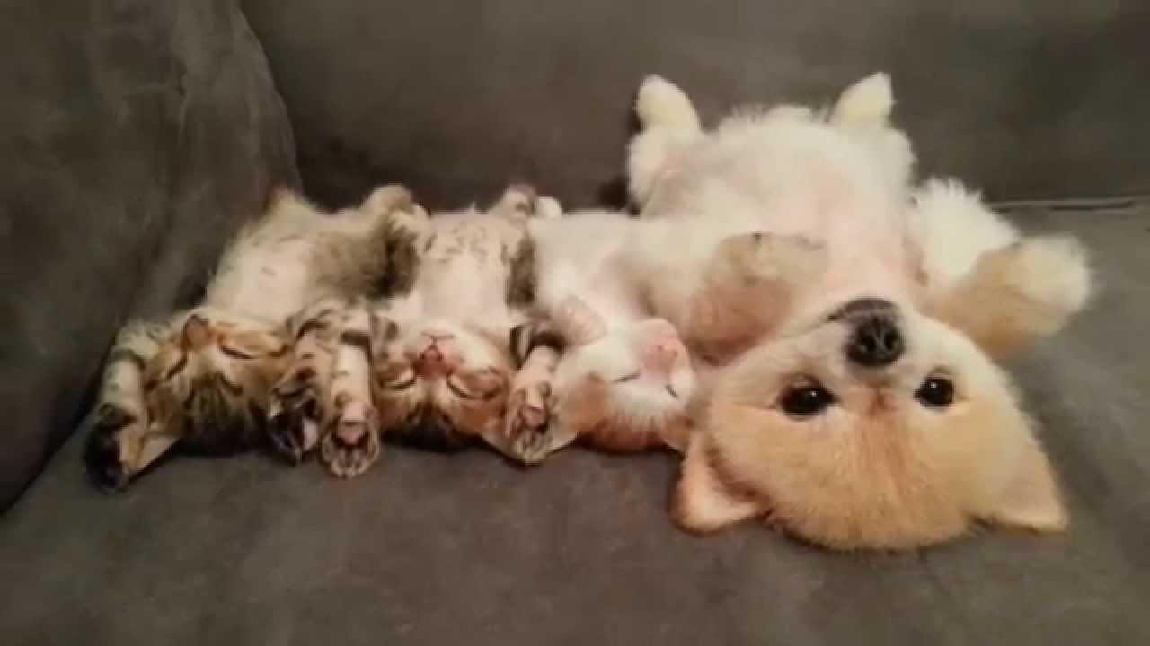 癒し効果抜群! ポメラニアンと子猫のお昼寝