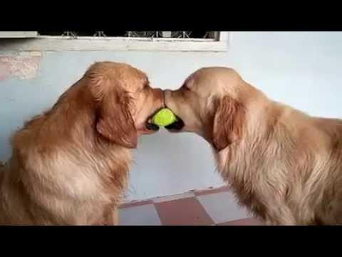 ボールを取り合う犬と可愛らしい方法で仲裁する犬
