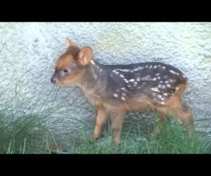 世界最小の鹿の子供がずんぐりしていてラブリーすぎ!