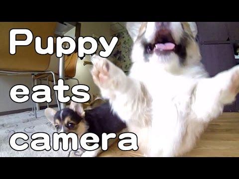 コーギーの子犬たちに追いかけ回される映像が萌える!