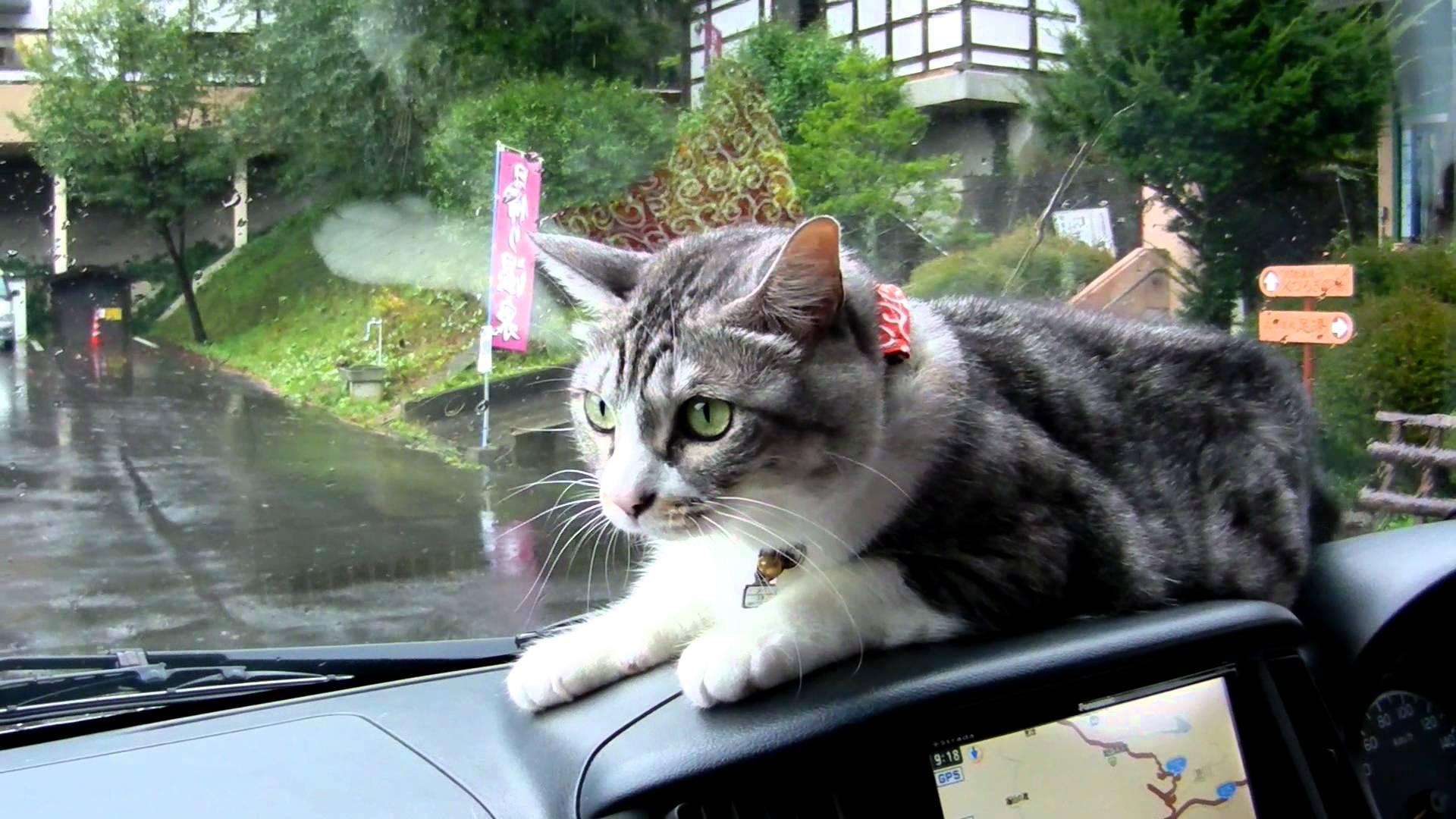 車のワイパーが気になってしょうがない猫の爆笑行動