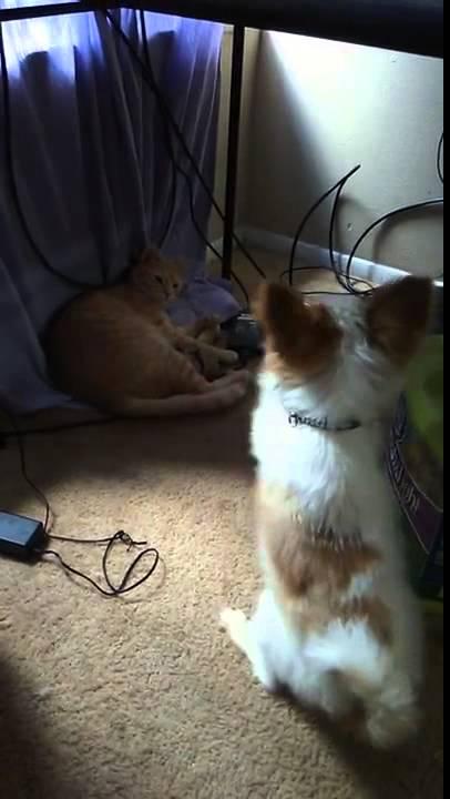 おもちゃを返して欲しくて猫に拝みまくる犬