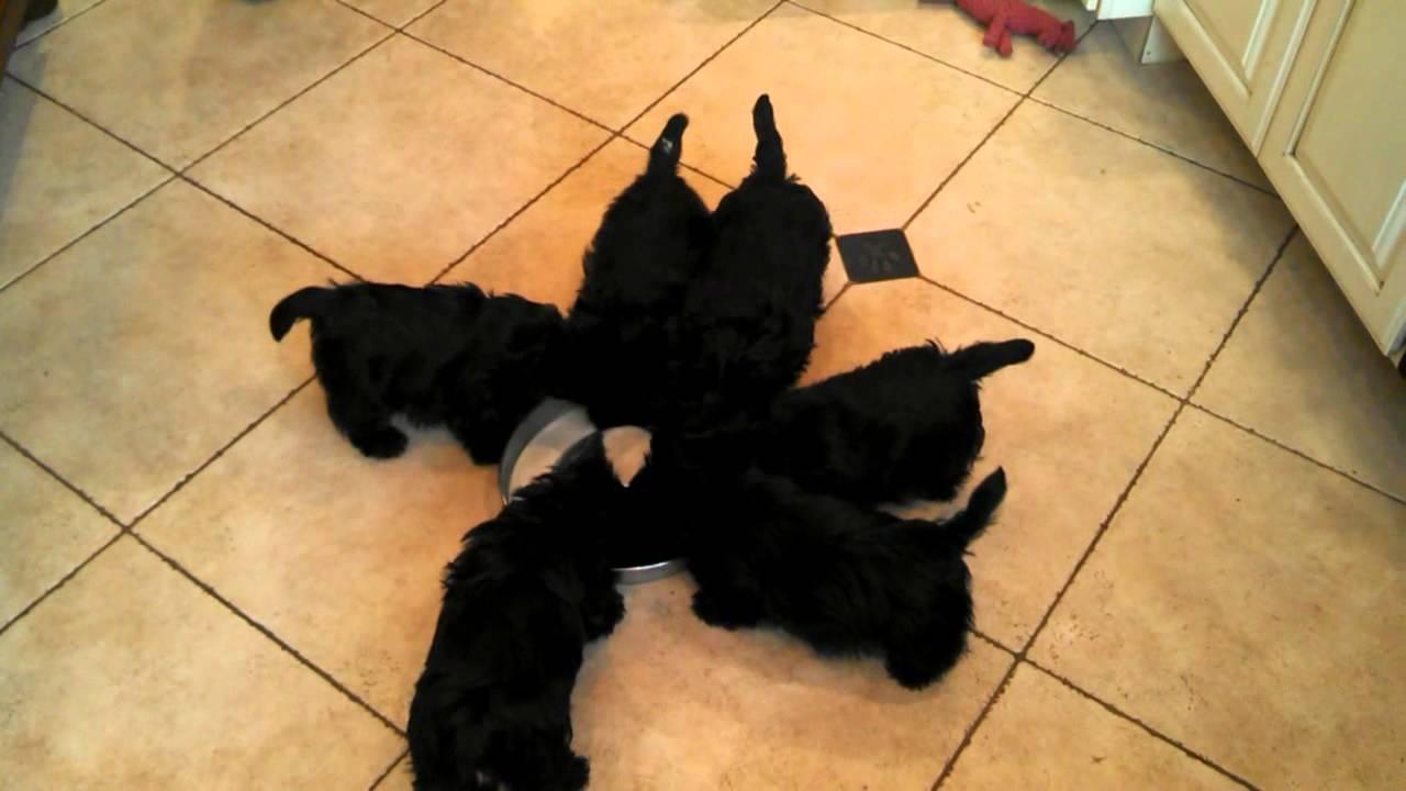 ミルクを風車みたいに回って飲む子犬集団