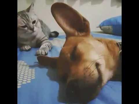 理不尽すぎるw 寝ている犬が気に食わなくて猫パンチ!