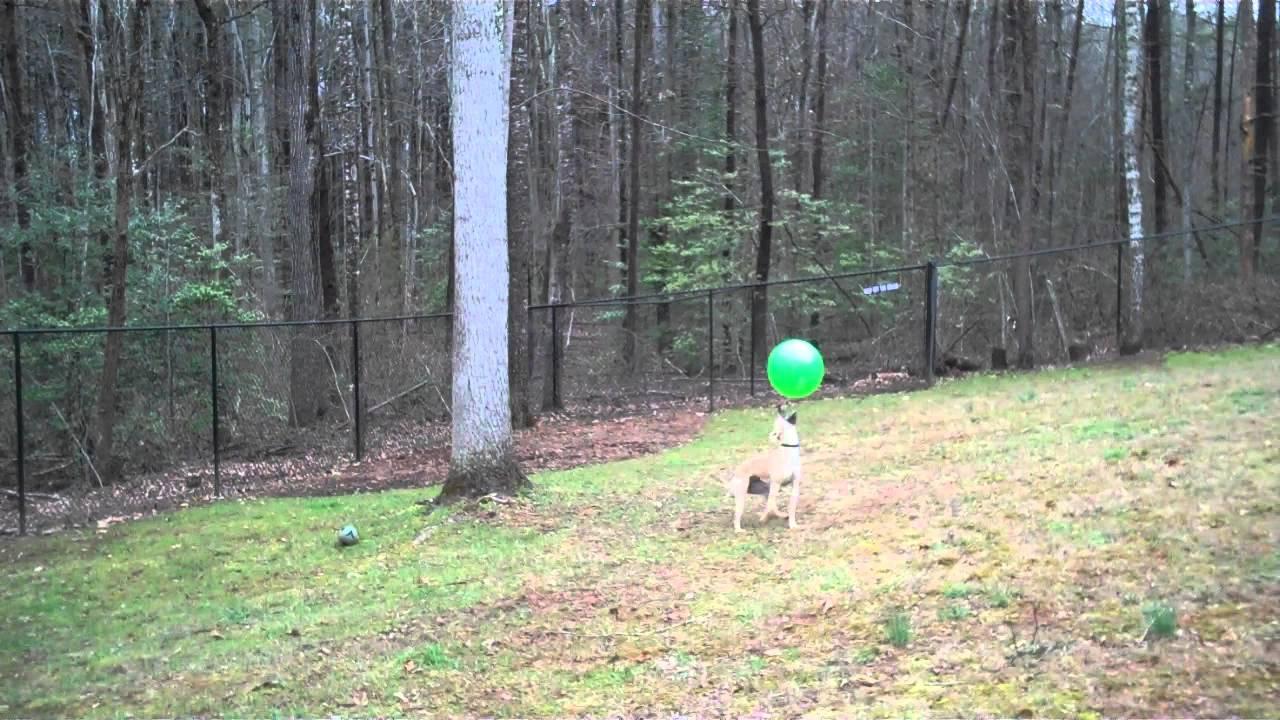 コントロール良すぎ! リフティングを15回連続で成功させる犬