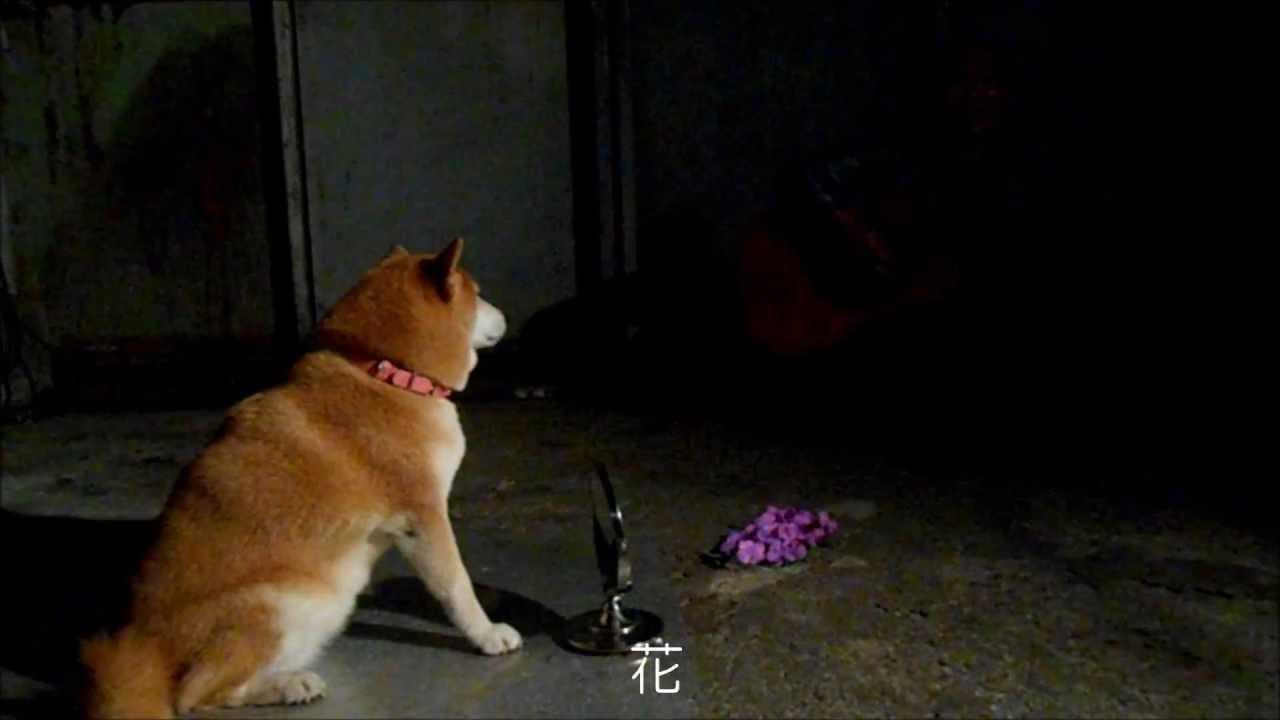 飼い主の弾き語りに絶妙のタイミングでライトアップさせる柴犬
