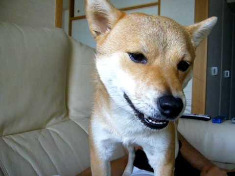 柴犬と会話する動画がほのぼのします