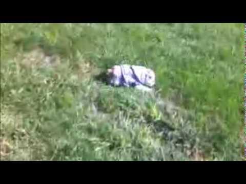 坂を転がり落ちる遊びをしているブルドッグが愛らしい