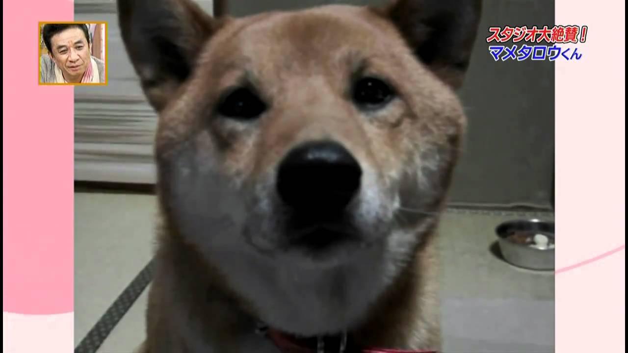 飼い主から「小さくほえて」とリクエストをされると「……ワン(小声)」で答える柴犬動画