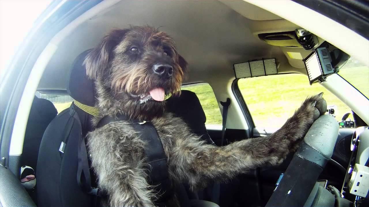 え、これマジ!? 天才犬が車を運転する動画