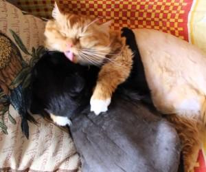猫達が抱き合って毛づくろいする動画が癒される