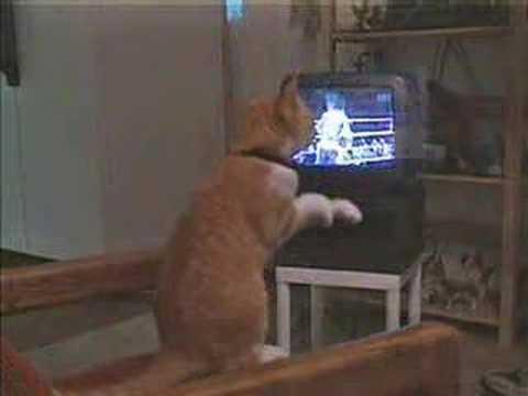 テレビのボクシング番組を見ながら猫パンチを繰り出す猫