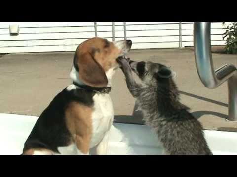 ビーグル犬の口内が気になるアライグマの動画