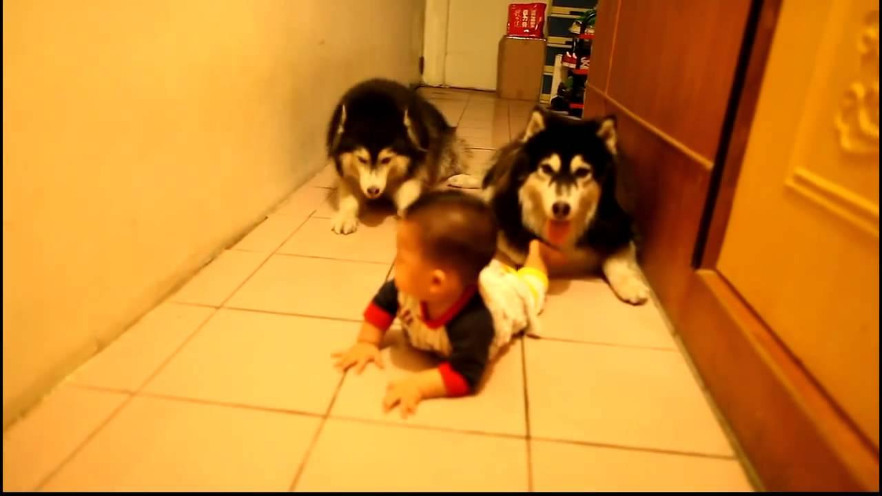 赤ちゃんのハイハイを真似て追いかけるハスキー犬動画