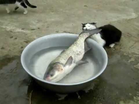 自分より大きい魚を食べようとした猫の動画