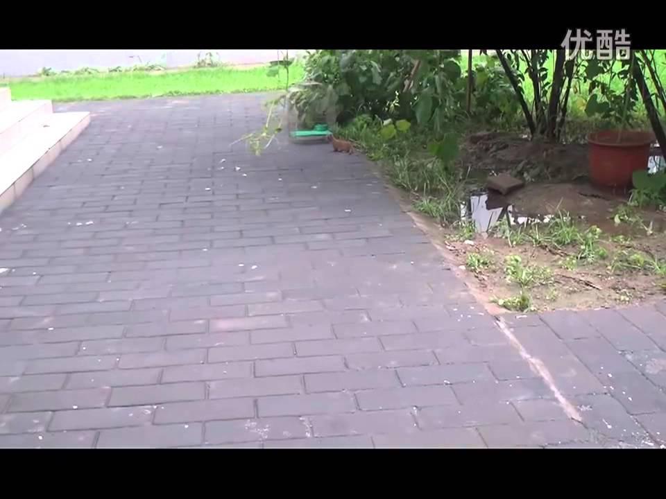 猫が好きすぎてたまらないイタチの動画