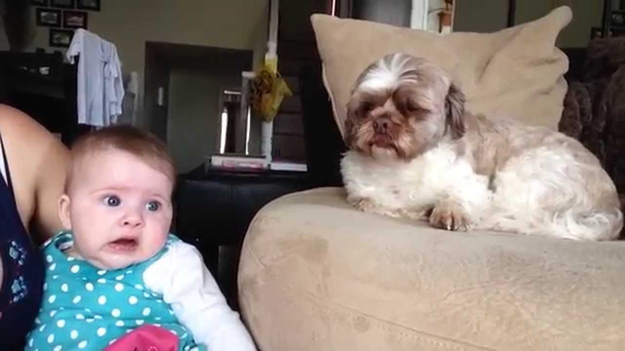 赤ちゃんを瞬時に泣き止ます子守上手な犬の動画