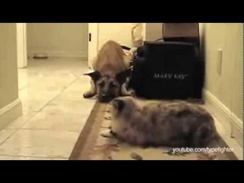 猫が怖くておどおどする犬動画集