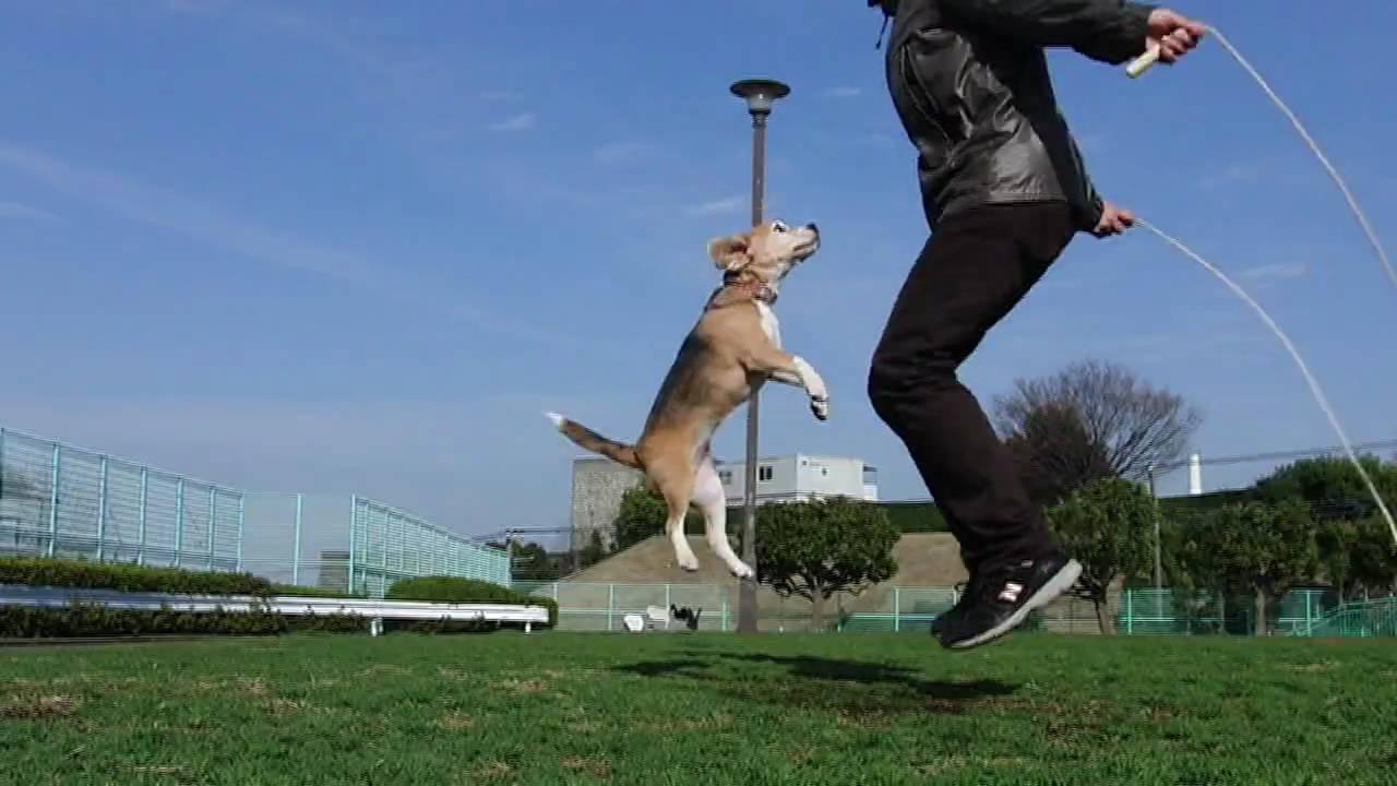 飼い主と一緒に縄跳びするビーグルの動画