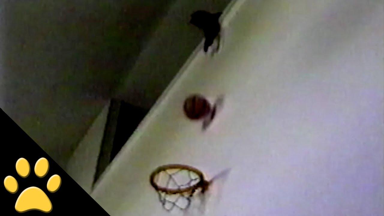 次々とシュートを決めるバスケット猫の動画