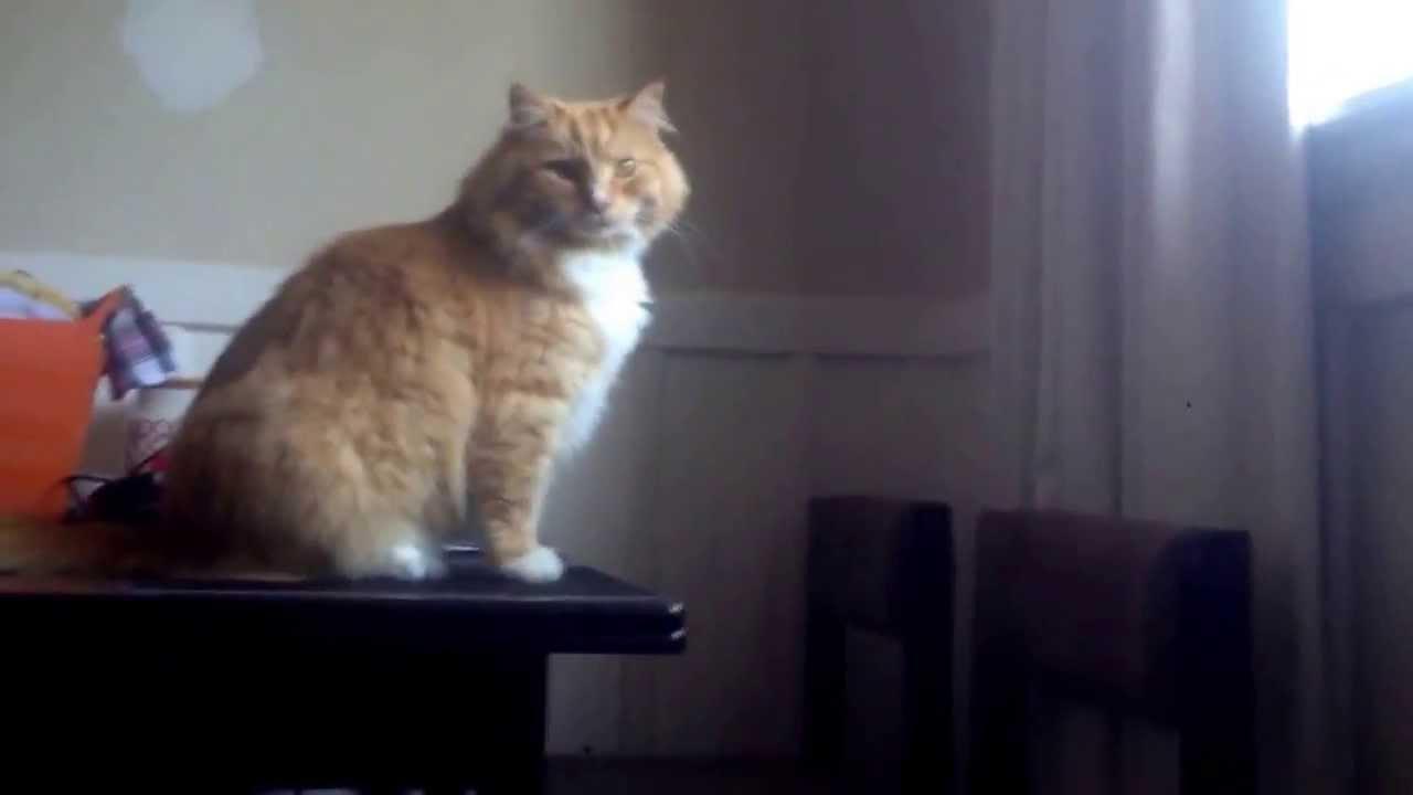 【猫動画】猫。落下。oh my God!!!