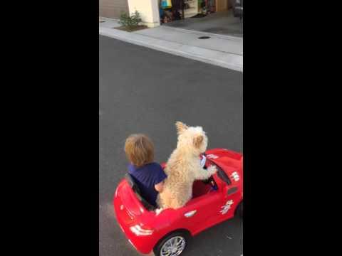 見事なハンドル捌きでミニカーを駐車場まで運転する犬