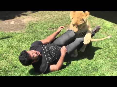 施設で育ての親に再開したライオンのじゃれつきっぷりが萌える