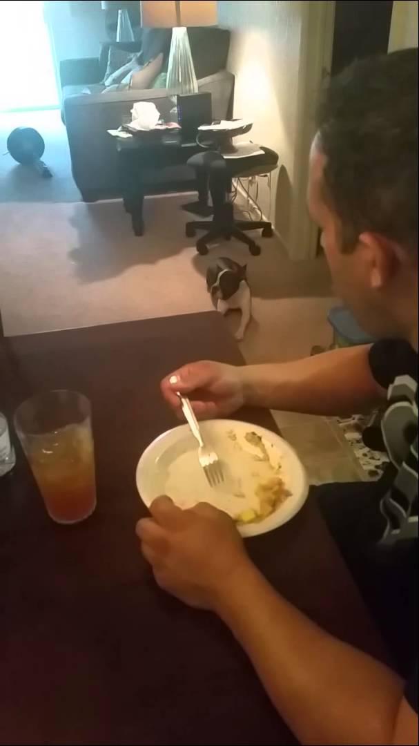 飼い主の食事が気になって仕方が無いフレンチブルドッグ