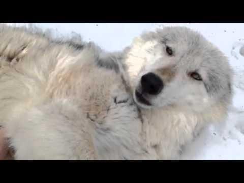 お腹をモフられるオオカミの仕草が超絶可愛い