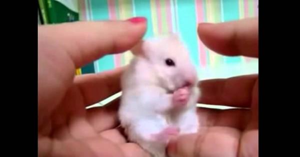 悶絶必須!!耳を触られたハムスターの反応が可愛過ぎる!